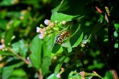 Avispa o avispón, insecto de los himenópteros de la orden y suborden Apocrita que es ni una abeja ni una hormiga Primer de la avi Fotos de archivo