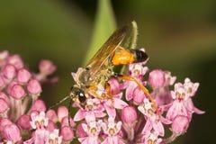 Avispa picadora de oro que busca para el néctar en una flor del milkweed Imagen de archivo