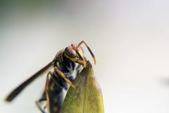 Avispa que alimenta desde una planta Imagen de archivo libre de regalías