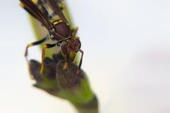 Avispa que alimenta desde una planta Fotos de archivo libres de regalías