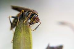 Avispa que alimenta desde una planta Imágenes de archivo libres de regalías