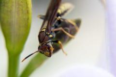 Avispa que alimenta desde una planta Fotos de archivo