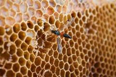 Avispa que come la miel Foto de archivo