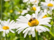 Avispa que descansa sobre la flor blanca y amarilla Foto de archivo