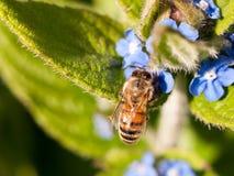Avispa que recoge el polen afuera en el bosque en una planta Fotografía de archivo libre de regalías