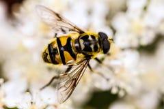 Avispa que recolecta el polen de una flor blanca Imagen de archivo libre de regalías