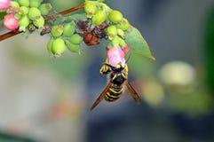 Avispa que toma el polen de una cabeza de flor del snowberry Foto de archivo