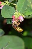 Avispa que toma el polen de una cabeza de flor del snowberry Foto de archivo libre de regalías