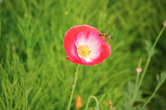 Avispa que vuela para florecer Fotos de archivo libres de regalías