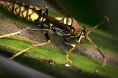 Avispa rayada amarilla y negra que descansa sobre una hoja Foto de archivo libre de regalías