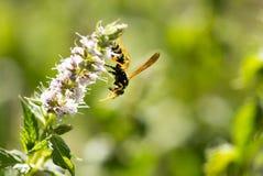 Avispa salvaje en la flor en naturaleza Imagen de archivo