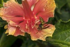 Avispa salvaje en una flor comida por los insectos Imagen de archivo