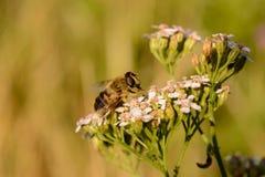 Avispa simple en las flores del verano Fotos de archivo