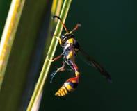 Avispa tropical en la hoja Avispa del hilo-waisted en hoja de palma Insecto tropical exótico inusual Imagen de archivo libre de regalías