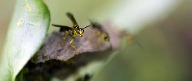 Avispa vista en el remanente de la selva tropical atlántica Imagen de archivo libre de regalías