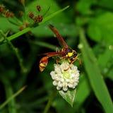 Avispas con las flores blancas en bosque de la hierba Foto de archivo libre de regalías