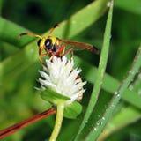 Avispas con las flores blancas en bosque de la hierba Fotos de archivo libres de regalías