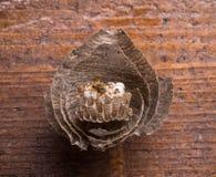 Avispas en el peine Foto de archivo libre de regalías