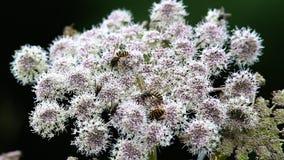 Avispas en una flor de una planta umbelada metrajes