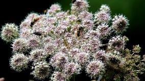 Avispas en una flor de una planta umbelada almacen de metraje de vídeo