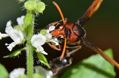 Avispas, insectos que pueden picar, cuerpos marrón-dirigidos, negros con las rayas marrones libre illustration