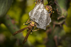 Avispas que construyen una jerarquía en un árbol Foto de archivo