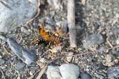 Avispas y araña derrotada Imagenes de archivo