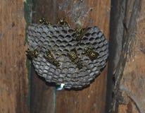 Avispero Polist de las avispas Fotografía de archivo