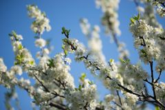 Avium blanco del prunus, cereza salvaje, cereza dulce, o flores del cerezo silvestre en foco selectivo de la ramita del árbol imagenes de archivo