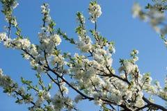 Avium blanco del prunus, cereza salvaje, cereza dulce, o flores del cerezo silvestre en foco selectivo de la ramita del ?rbol imagen de archivo
