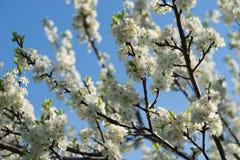 Avium blanco del prunus, cereza salvaje, cereza dulce, o flores del cerezo silvestre en foco selectivo de la ramita del ?rbol fotos de archivo