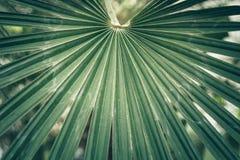 Avive la hoja de una palma del sabal, palmetto de col Foto de archivo libre de regalías