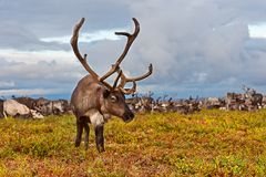 Reindeer grazes in the polar tundra. Avka is a general name for domesticated reindeer. Herd of reindeer grazes in the tundra nearby of polar circle Stock Image