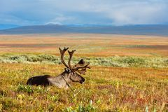Reindeer grazes in the polar tundra. Avka is a general name for domesticated reindeer. Herd of reindeer grazes in the tundra nearby of polar circle Stock Photos