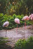 Avkopplad flamingo Arkivbild