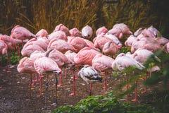 Avkopplad flamingo Royaltyfria Foton
