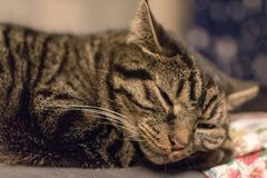 Avkopplad gullig och randig katt kort efter som vaknar upp arkivfoto