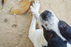 Avkopplad hund på sandstranden, Royaltyfri Bild
