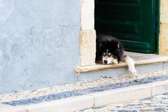Avkopplad hund som lägger på en öppen dörr för siesta royaltyfri fotografi