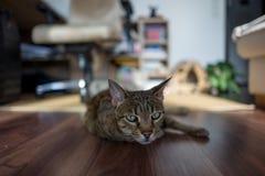 Avkopplad Savanah katt fotografering för bildbyråer