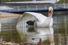 Avkopplad vit svan arkivfoto