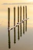 Avkopplade Seagulls på sjön Constance Arkivfoto