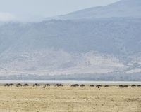 Avlägsen flock av gnu med två strutsar i förgrunden Fotografering för Bildbyråer