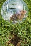 avlägsen hamster för away bollclose Arkivfoto