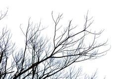 avlövad filial eller dött träd på vit bakgrund med den snabba banan Royaltyfri Fotografi