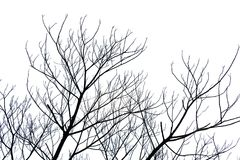 Avlövad filial eller dött träd som isoleras på vit backgroun Arkivfoto