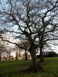 avlövad tree Arkivfoto