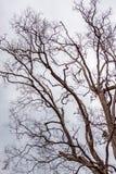 avlövad tree Royaltyfria Bilder