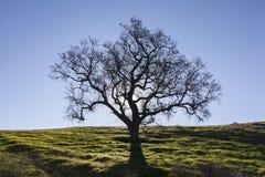 Avlövad vit ek med vårgräs arkivfoton