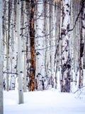 Avlövade aspar i snön Fotografering för Bildbyråer